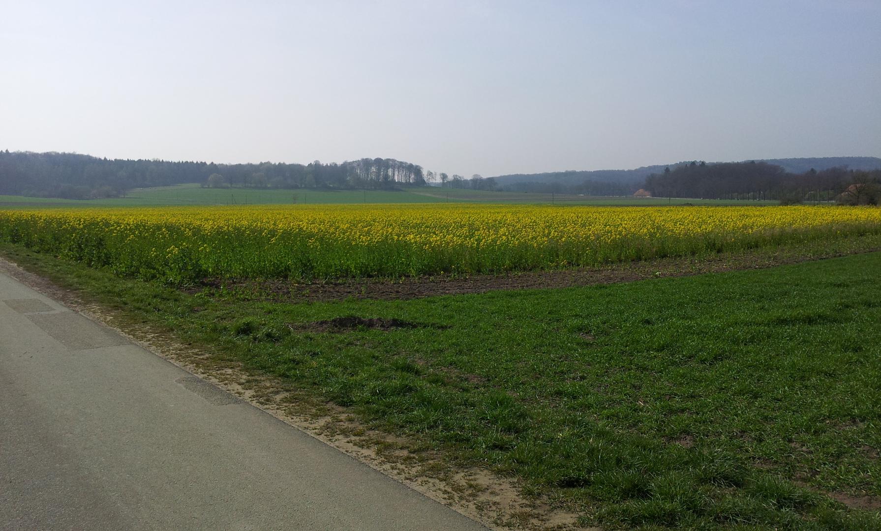Blühende Rapsfelder