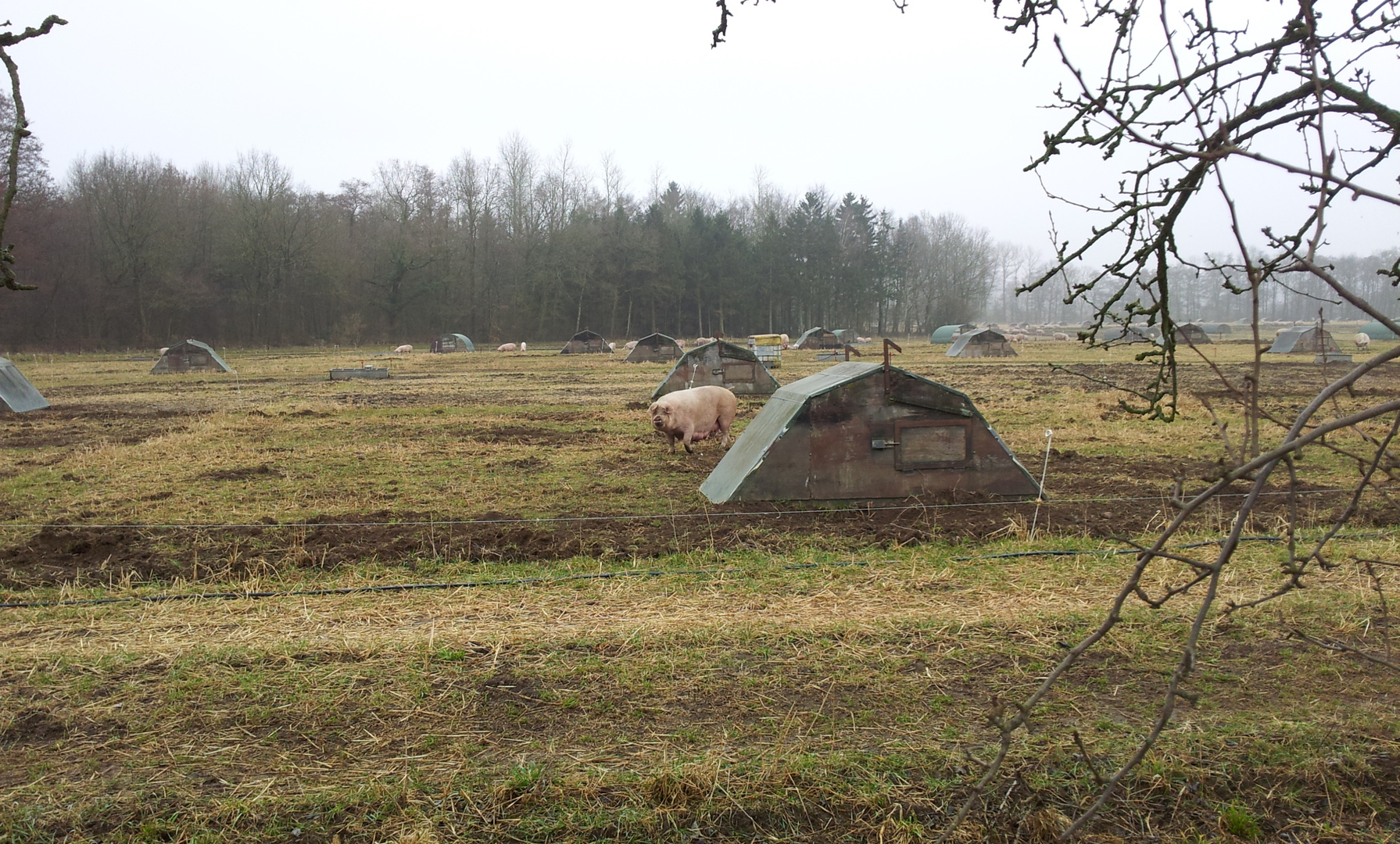 Schweinezucht 1